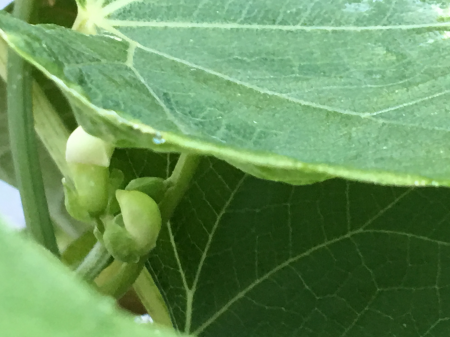 choko vine with flowers